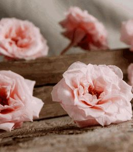 Preserved French Noisettes RosesNatural Bridal Pink (12 rose heads) Flowers [cake topper]