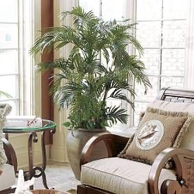 Areca palm tree safe for cats special flowers for for Palm tree living room ideas