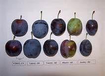 plum varieties