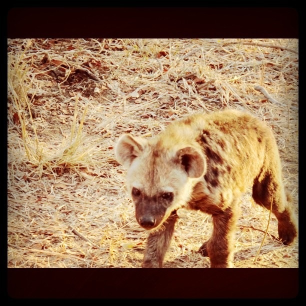 Hyena cub by his den