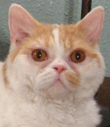 ... about Cats for Adoption on Pinterest   Cats, Adoption and Tuxedo cats