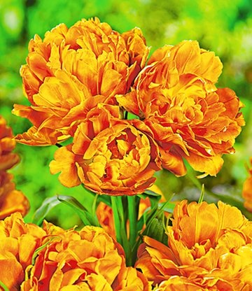 Tulp 'Mont Orange' heeft drie tot vier dichtgevulde bloemen aan één steel! De grootte en de vorm doet aan een pioenroos denken. #bloembollen #tulpen
