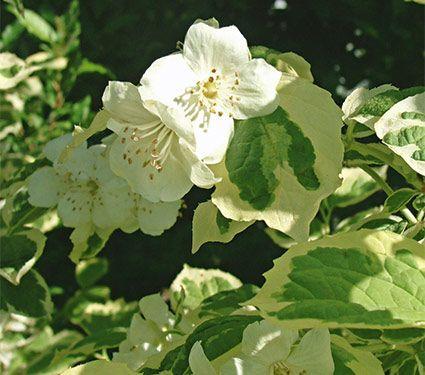 The 324 best white out images on pinterest white flowers plants philadelphus coronarius icelandic flowering shrubsgarden shrubsgarden treeswhite mightylinksfo