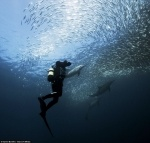 Diver and Sardines