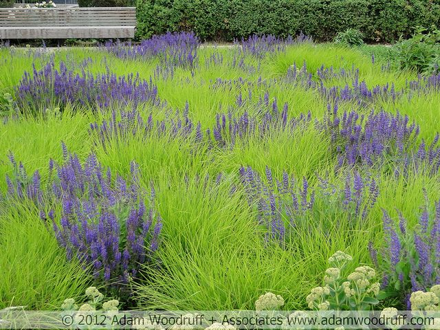 Autumn Moor Grass (Sesleria autumnalis) with Salvia.  Potters Fields Park, London.  Garden design by Piet Oudolf.