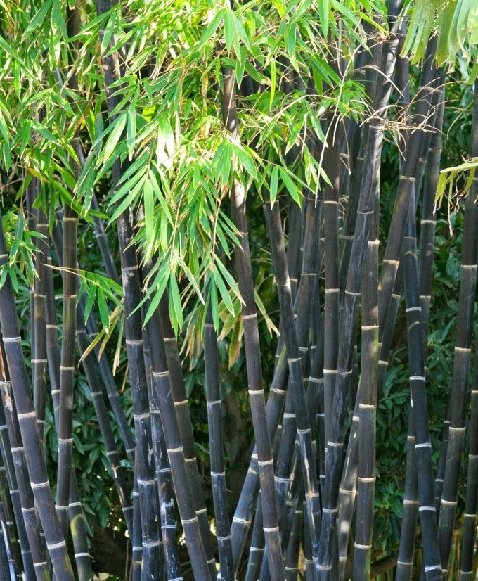 With amazing jet black canes offering a dramatic contrast to its evergreen feathery green leaves, its no wonder that Black Bamboo is among the most sought after bamboo plants in the UK.