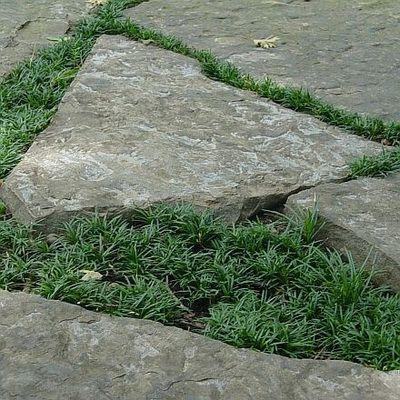 Bildergebnis für ophiopogon japonicus nana