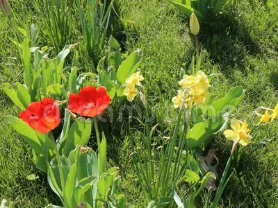 Tulips and daffodils in the breeze.