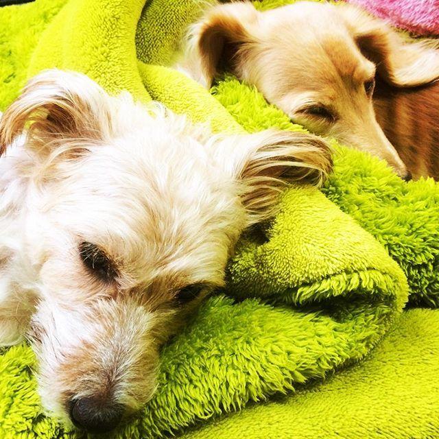 二度寝😴😴 #ミニチュアダックスフント#ミニチュア#ジャックラッセルテリア #愛犬#わんこ#かわいい#雨#散歩なし#二度寝中 #今日も#留守番#仲良く#待っててね😜