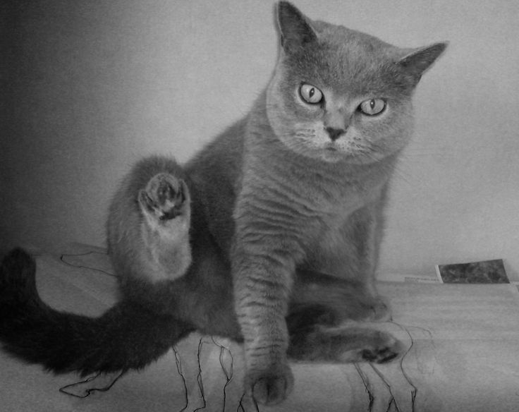 http://evercats.com/wp-content/uploads/2013/03/evercats_breed_britishshorthair_000_31.png