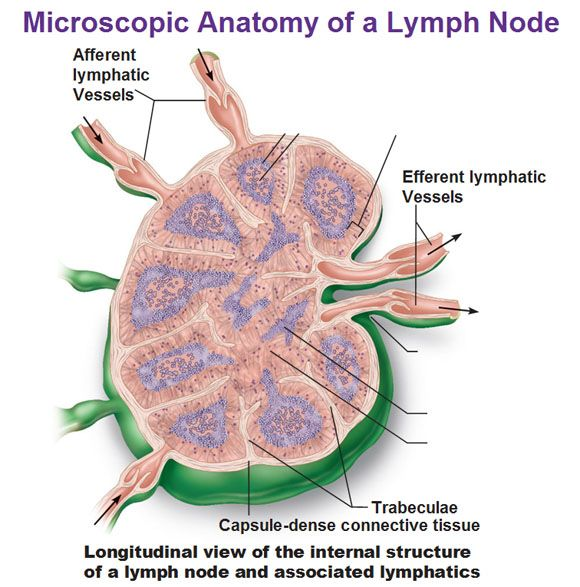 microscopic anatomy of lymph node, afferent and efferent lymphatic vessels, trabeculae