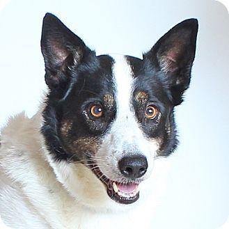Walnut Creek, CA - Border Collie Mix. Meet Jazzy, a dog for adoption. http://www.adoptapet.com/pet/17008490-walnut-creek-california-border-collie-mix