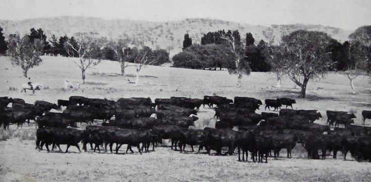 Foxlow, Bungendore, New South Wales. The Property of Franc B. S. Falkiner, Esq. Approximately 15,000 acres. Photo circa 1920. 'Purebred Red Poll cows at Foxlow Homestead'. Uploaded courtesy of thecollectorsbag.com