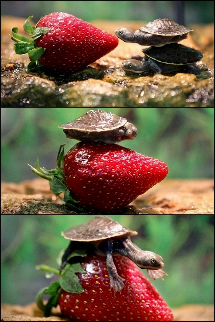 baby turtles + strawberries.