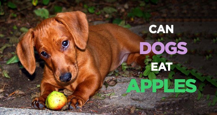 Can Dogs Eat    Apples? Is It Safe for Dogs to Eat Apples? #dogs #dogtreats