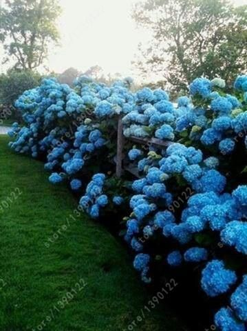 20 seeds/bag hydrangea seed, china hydrangea flower seeds,12 colors, Natural growth for home garden planting
