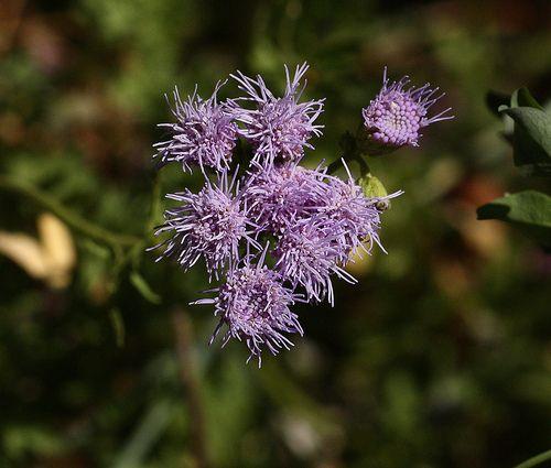 Gregg's Mistflower-Conoclinium dissectum-close-up: Photos, Gregg S Mistflower Conoclinium, Dissectum Close Up, Beautiful Blooms, Garden