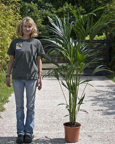 Kentia Palm Howea forsteriana  1.8m tall