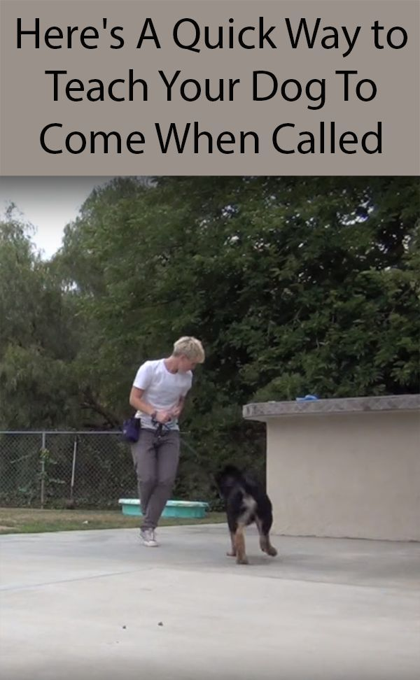Teach Your Dog To Come When Called Dogs Dog Training Dog Care