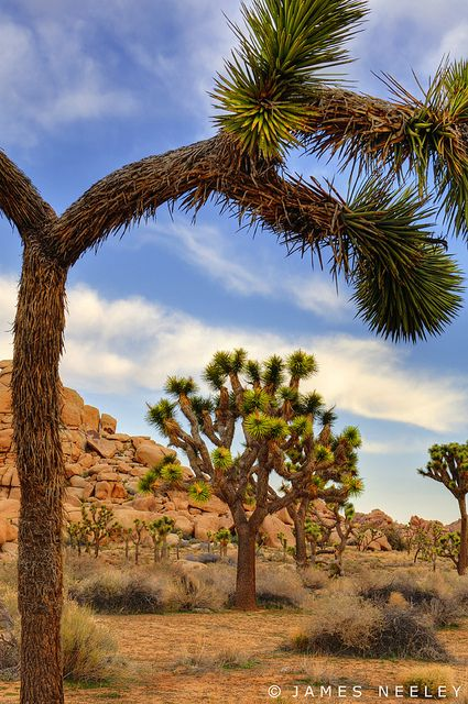 Joshua Tree National Monument near Palm Springs, CA, was a place for many Scout hikes and outings, including getting a whole troop lost one time.....memories!