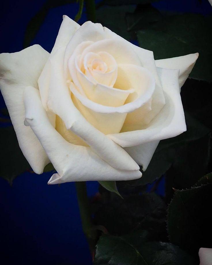 やっぱり大賞という表示のある薔薇はお見事です。たくさんある中の一輪だよ。#国際バラとガーデニングショウ 続きます。#バラ #薔薇 (国際バラとガーデニングショウ)