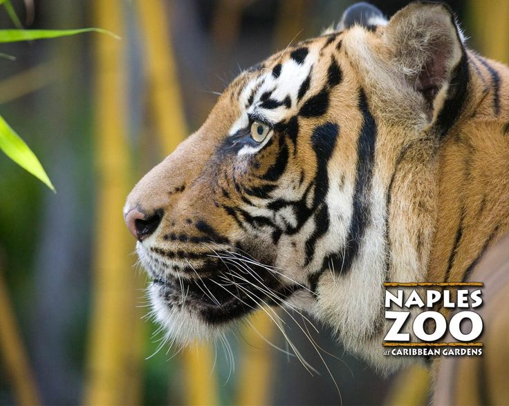 The Naples Zoo is one of Naples top attractions. It attracts thousands of visitors each year, and is home to hundreds of rare animals and plants.