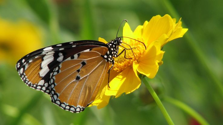 A Monarch And Yellow Flower – 1080p HD Wallpaper Nature