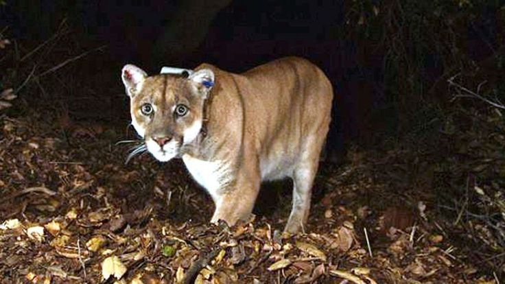 FILE - This Nov. 2014 file photo provided by the National Park Service shows the Griffith Park mountain lion known as P-22.
