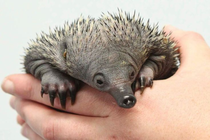 A baby echidna is a puggle