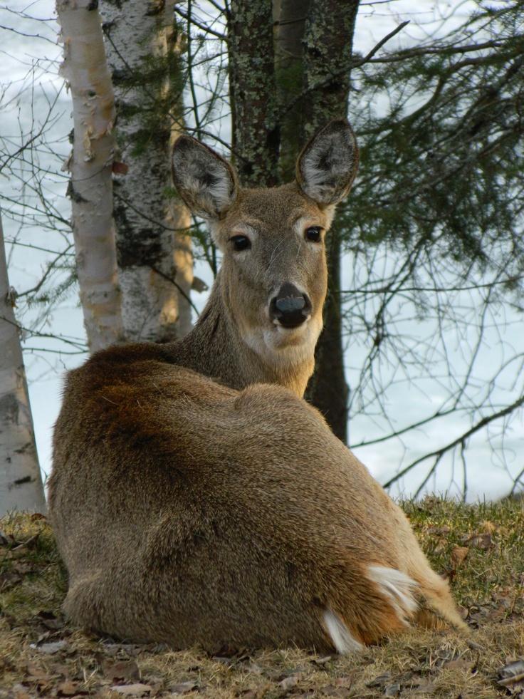 White Tail Deer in Kenora, Ontario, Canada