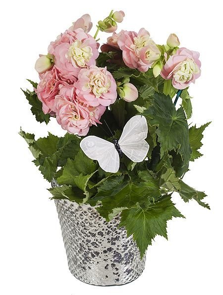 Rosa Begonia i Glød potte fra Mestergrønn. Om denne nettbutikken: http://nettbutikknytt.no/mestergronn-no/