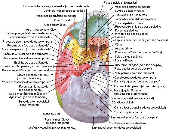 Aula de Anatomia - Sistema Ósseo - Cabeça - Crânio como um Todo