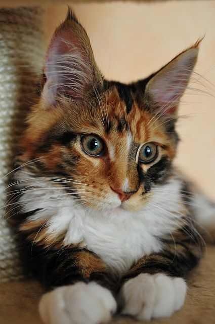 India Perfect Cat MCO 3 months | Maine coon kitty
