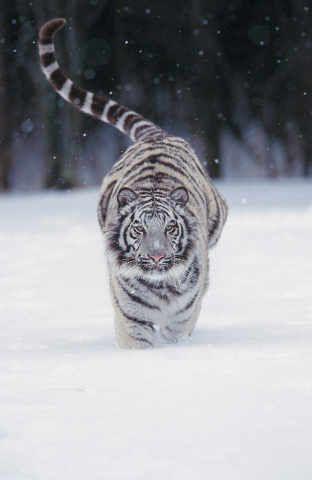 weißer Tiger (Panthera tigris) in tiefem Schnee rennend - jetzt bestellen auf kunst-fuer-alle.de
