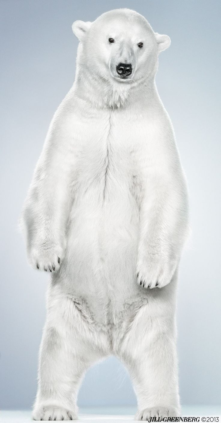 (Jill Greenberg). The Polar Bear, the Biggest Bear on Earth.
