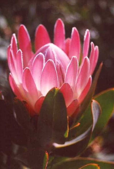 Protea 'Pink Duke' • Australian Native Plants Nursery • Plants • 800.701.6517 LOVE proteas