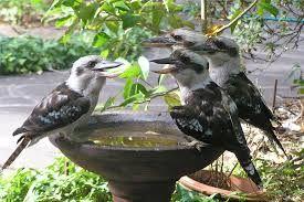 Kookaburras enjoying a Summer cool down at a drink fountain. #seasonsforgrowth