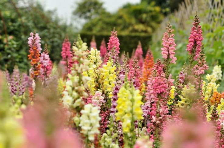 Snapdragon flowers. Grow them in a container and bring them in over the winter?
