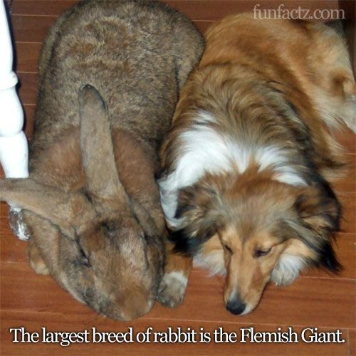 Flemish Giant Rabbit: