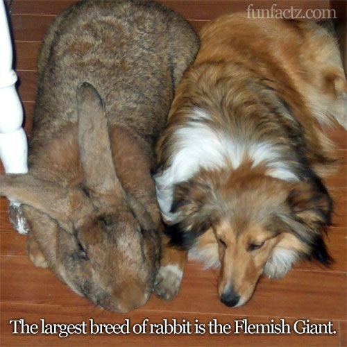 Flemish Giant Rabbit: