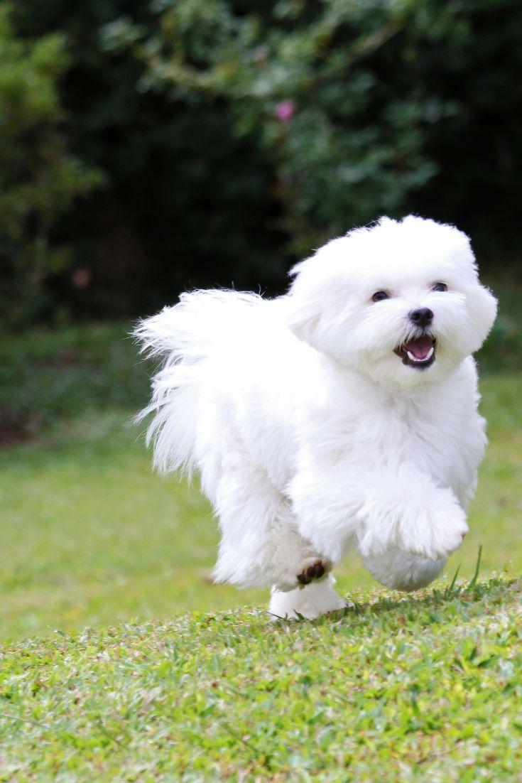 Malteser Hund Laufen A Weisser Malteser Hund Hunde Hund Hunde Laufen Malteser Weisser Maltese Dogs Maltese Teacup Puppies Maltese