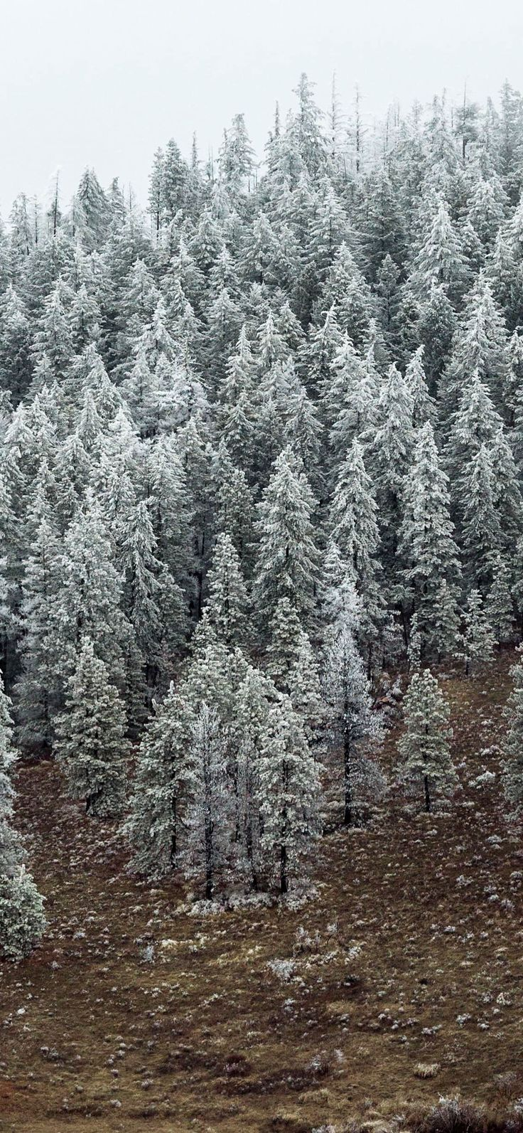 entre nous snowy pine tree forest wallpaper Iphone X