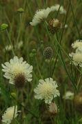 Scabiosa columbaria ochroleuca   Knoll Gardens   Ornamental Grasses and Flowering Perennials