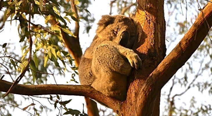See Koala's And Other Australian Wildlife At Cleland Wildlife Park - Things to Do in Adelaide South Australia