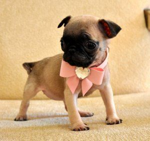 OMG!! I have Jeff convinced we can get a puglet some day...