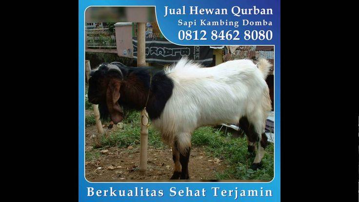 0812 8462 8080 (Tsel), Jual Kambing Qurban di Rawamangun Cipinang Jatinegara Pulo Gadung