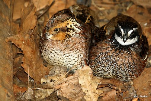 25 best Bobwhite Quail images on Pinterest  Quails Quail
