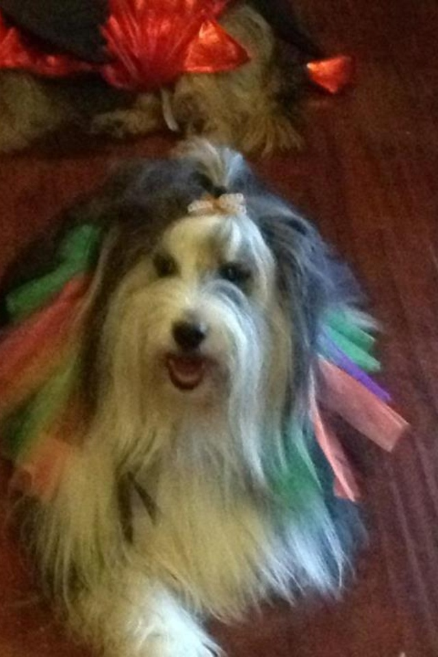 This is a bearded collie ballerina!