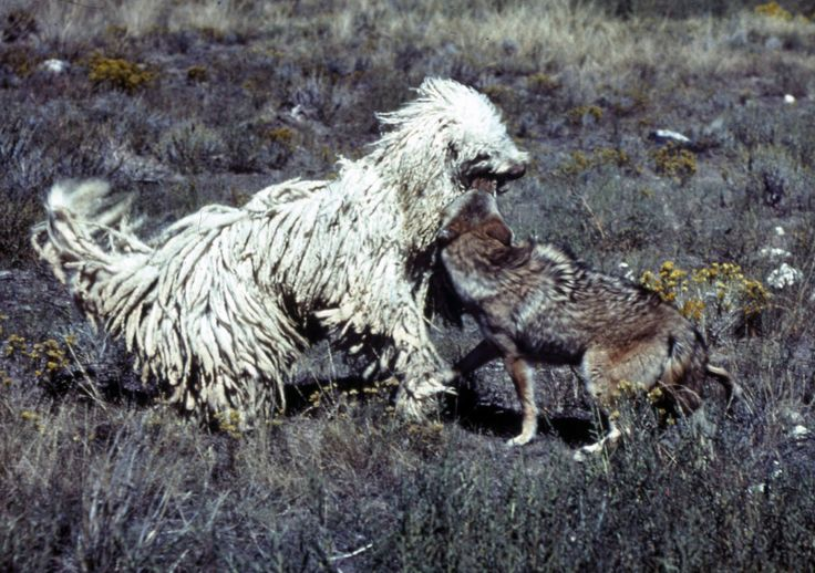 Livestock Guardian Dog In Action Flock Guardian Dogs