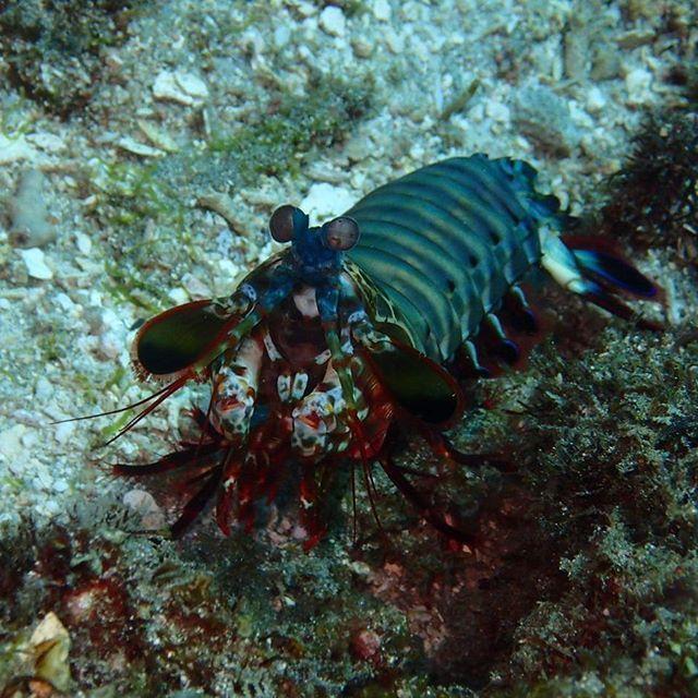 Mantis shrimp - exploring Molo Strait - Let's Macro #indonesia #flores #komodo #molostrait #mantisshrimp #macro #colors #scuba #scubaba #livetoscuba #underwaterphotography  #olympus #padi #scubapro #instadive  #nofilter